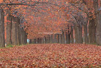 小布施の桜並木~秋~ - 野沢温泉とその周辺いろいろ