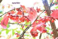 まだつづくあかい実(その2) - ジージーライダーの自然彩彩