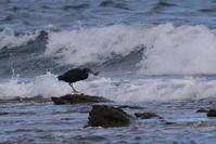 玄界灘の海鵜 - * Toypoodle  x3 + Birds *