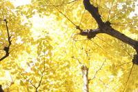 神宮外苑のいちょう並木 - おなかにやさしく