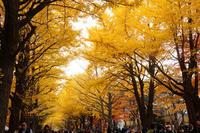 銀杏並木のライトアップ(北海道大学) - お茶にしませんか
