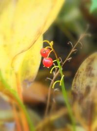 スズランの実枯れモノ天使編 - 花散歩写真 in Vancouver