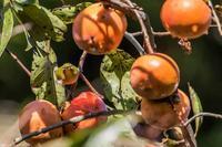 柿の実を食べに来たメジロ - あだっちゃんの花鳥風月