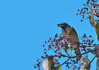 マミチャジナイ - 今日も鳥撮り