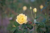 薔薇 - 写真部
