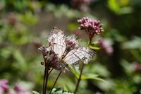 フジバカマに来たチョウ達 - おらんくの自然満喫