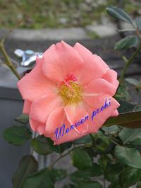 昨日、天気の良い日に資生堂で薔薇の写真撮りました。切抜き有り。 - 写真で楽しんでます!