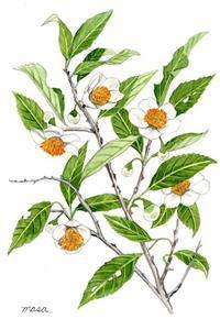 お茶の花 - がちゃぴん秀子の日記