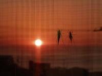 夕日とクツワムシ - 百寿者と一緒の暮らし