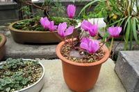 11月の原種シクラメン - リリ子の一坪ガーデン
