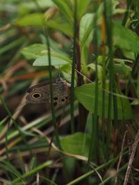 ヒメウラナミジャノメの産卵、卵、蛹 - 90% Papillon -蝶の写真を撮っています-