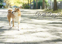 犬のためにもやっぱりsony α7RIII…と思った秋の葉山会、散歩の章は銀杏並木の柴犬 - 東京女子フォトレッスンサロン『ラ・フォト自由が丘』-写真とフォントとデザインと現像と-