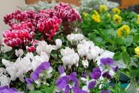 冬花壇への植え替え2017年秋 - ニッキーののんびり気まま暮らし