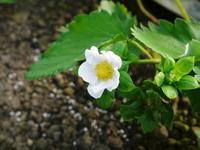 熊本イチゴ『熊紅(ゆうべに)』定植後のマルチ張りと花咲く様子(後編:元気な花とミツバチによる受粉) - FLCパートナーズストア