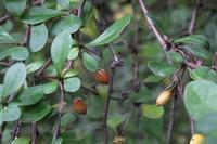 ■赤い実の成る木 (5)17.11.2(メギ、ナンテン、ノイバラ) - 舞岡公園の自然2