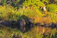 日比谷公園の池で大きなカメを発見! - 写真家 永嶋勝美の「散歩の途中で . . . !」