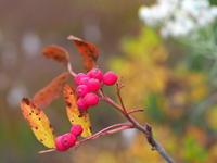 秋の赤い実 - 花散歩写真 in Vancouver