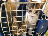 チョコ坊、10月も保護猫手術会でお留守番 - 晴れのちチョコ坊、にゃん歩日和!