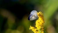晩秋 - 紀州里山の蝶たち