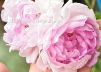大人の美しさを持つ薔薇 - 彼とカヲリの庭の関係