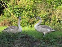 陸の上の白鳥物語 - フランス Bons vivants des marais