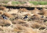 タゲリ - 写真で綴る野鳥ごよみ