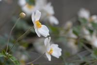 秋明菊 - ブナの写真日記