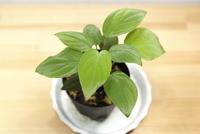 "Homalomena sp. ""Kapuas-2"" - PlantsCade -2nd effort"