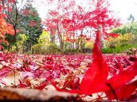 豊平公園・紅の世界 - 柳に雪折れなし!Ⅱ