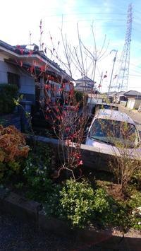 紅ドウダンツツジの植栽 - 世に万葉の花が咲くなり