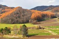 富良野の黄葉① - Photo Of 北海道大陸