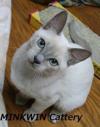 Minkwin's cattery sakura - MINKWIN Cattery &Pretty Aki