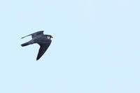 ハヤブサ 11月04日 - 旧サンヨン野鳥撮影放浪記