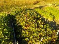 さつま芋掘って、玉ねぎ植えよう!(南国畑) - 化学物質過敏症・風のたより2