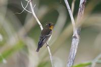 ムギマキ(Mugimaki Flycatcher)/2017.10 - Birding  in  Japan!