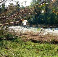 犀川と四季桜 - 金沢犀川温泉 川端の湯宿「滝亭」BLOG