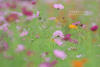 秋桜とノビタキ - 花野鳥風月MISCHEH