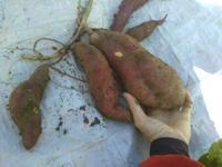 芋、芋、芋・・・さつま芋の収穫(南国畑) - 化学物質過敏症・風のたより2