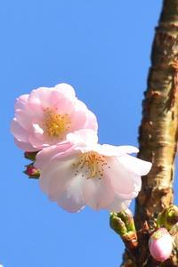 桜花 - 「 ボ ♪ ボ ♪ 僕らは釣れない中年団 ♪ 」