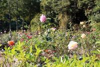 川崎生田緑地ばら苑・ボランティアガイド2日目 - バラとハーブのある暮らし Salon de Roses