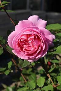 我が家の秋の薔薇 - バラとハーブのある暮らし Salon de Roses