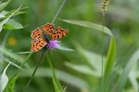 ノハラアザミに集うチョウたち - 旅のかほり