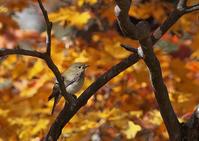 紅葉 - 今日も鳥撮り