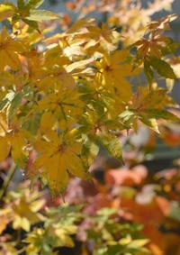イロハモミジ黄葉 - kukka kukka