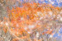 城峯公園の紅葉と冬桜~② - 柳に雪折れなし!Ⅱ