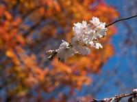 城峯公園の紅葉と冬桜~③終 - 柳に雪折れなし!Ⅱ