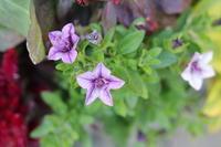 ビオラの苗を買っちゃった - my small garden~sugar plum~