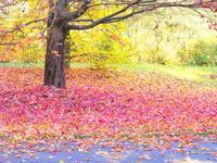 秋の絨毯 - 花散歩写真 in Vancouver
