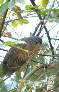ホシゴイ - 多摩子の鳥見 ・ 散歩