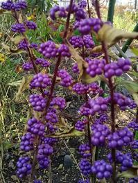 紫式部(小紫) - あいのひとりごと